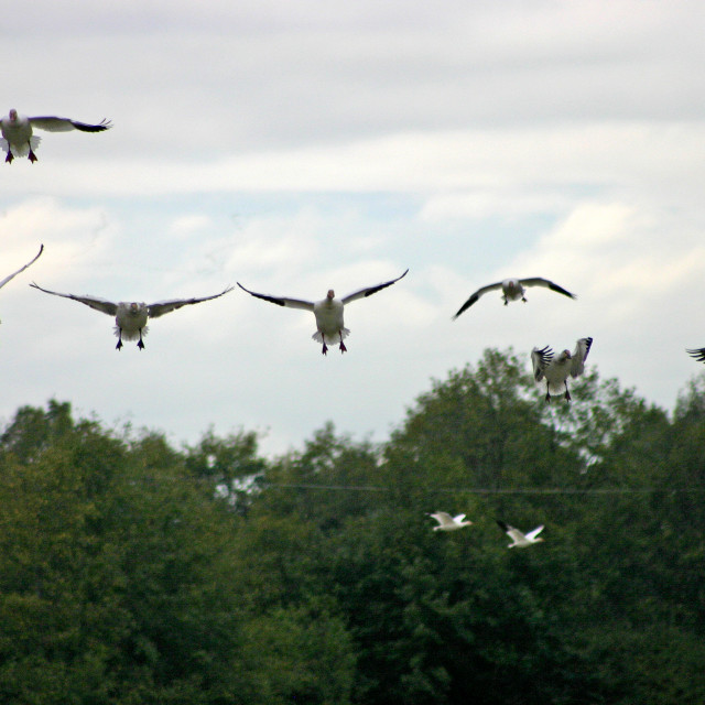 """Snow Geese landing"" stock image"