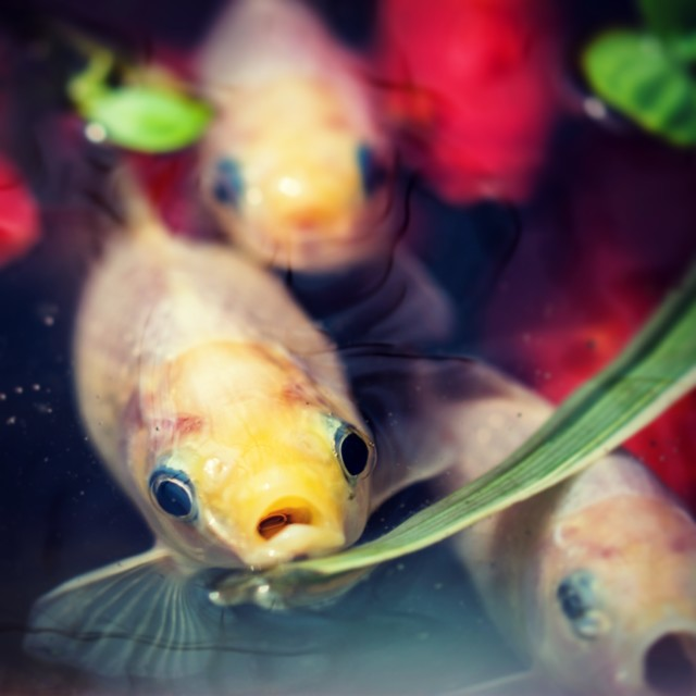 """""""Shocked fish at surface of pond"""" stock image"""