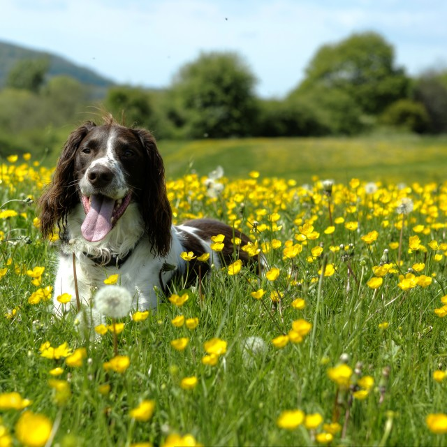 """Spaniel in Buttercups"" stock image"