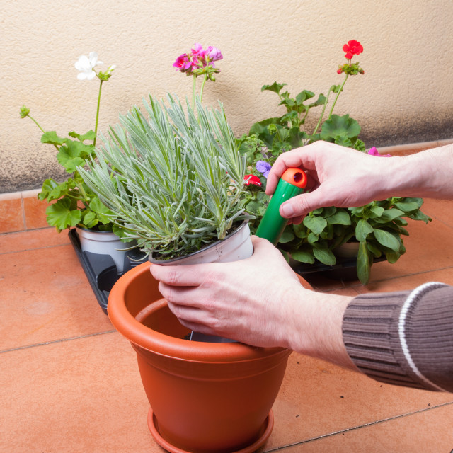 """Transplanting lavender plant"" stock image"