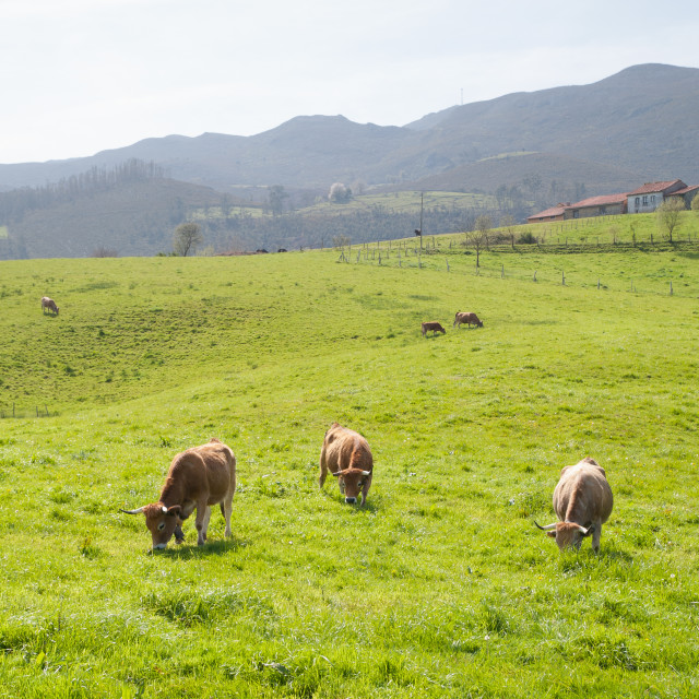"""""""Cows in field"""" stock image"""