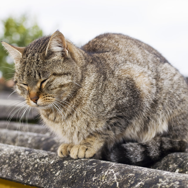 """""""Cat with eyes closed"""" stock image"""