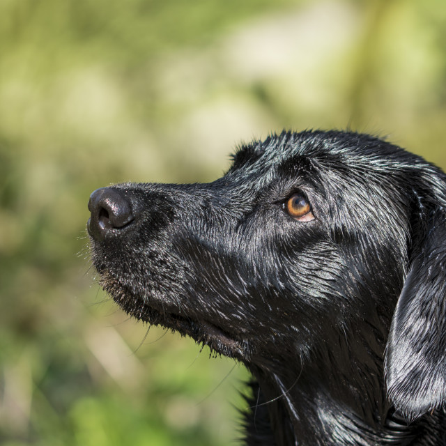 """Black Labrador dog portrait"" stock image"