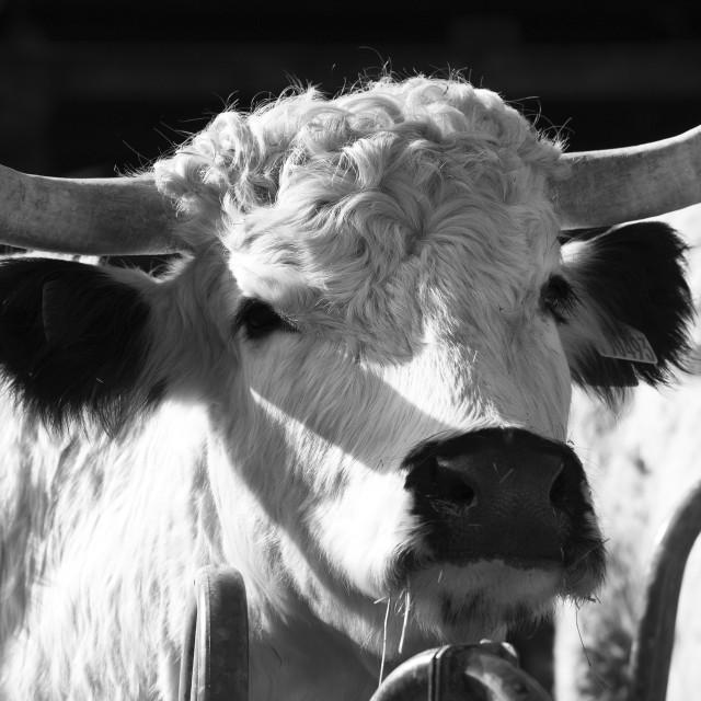 """White Park Cow"" stock image"