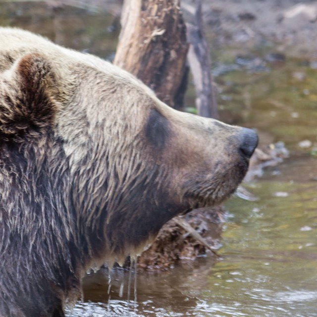 """""""grizzly in profile"""" stock image"""