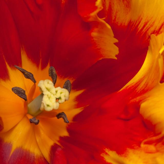 """Bright Parrot Tulip close up"" stock image"