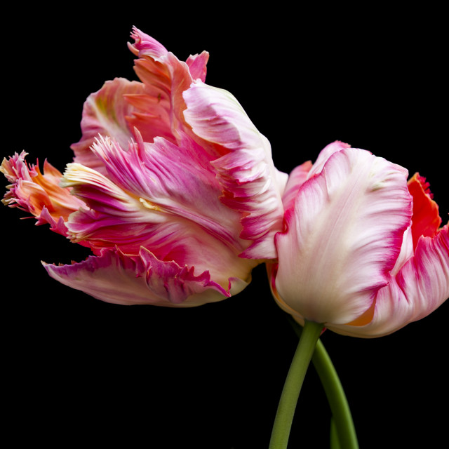 """Apricot Parrot Tulips"" stock image"