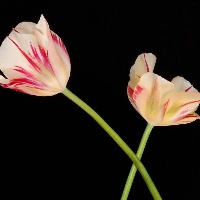 """Flaming Springgreen Tulips"" stock image"