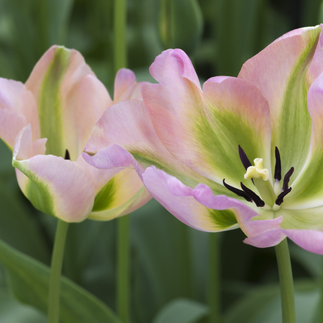 """Greenland Tulips"" stock image"