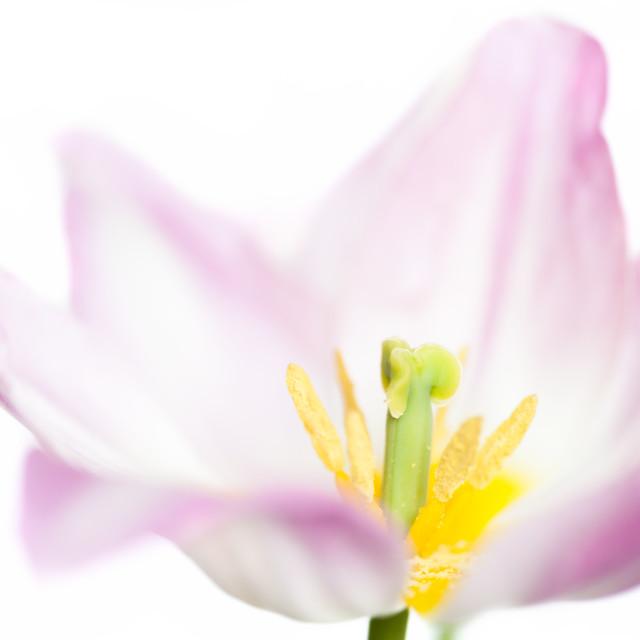 """""""Duc Van Tol Tulip"""" stock image"""
