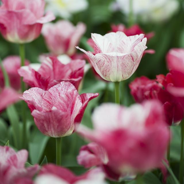 """Hemisphere Tulips"" stock image"