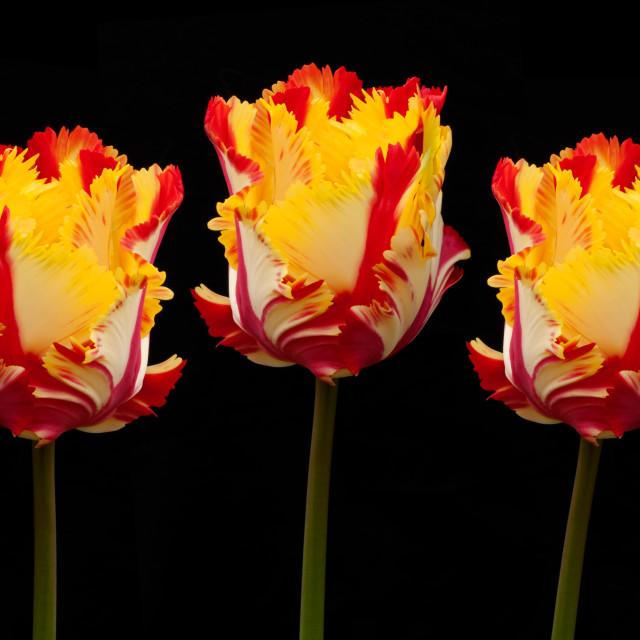 """Three Bright Parrot Tulips"" stock image"