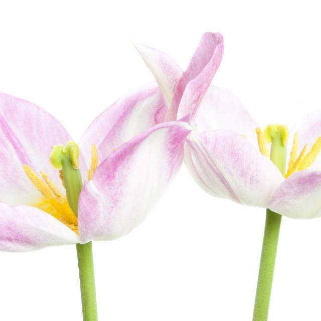 """""""Two Duc Van Tol Tulips"""" stock image"""