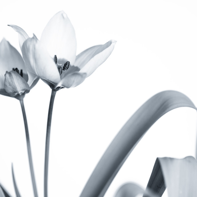 """Monochrome Tulips"" stock image"