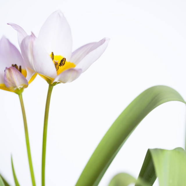 """Lilac Wonder Tulips"" stock image"