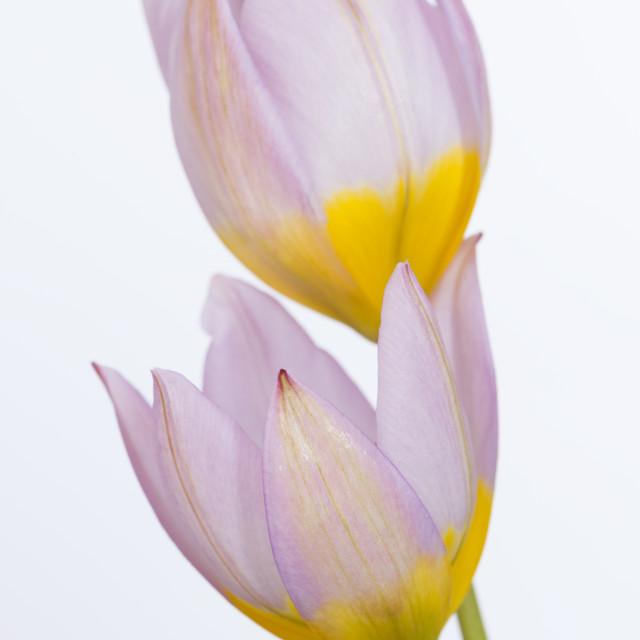 """Lilac Wonder Tulip"" stock image"