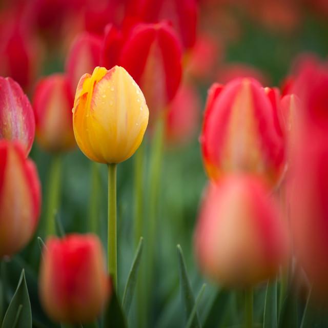 """""""Florette Tulip"""" stock image"""