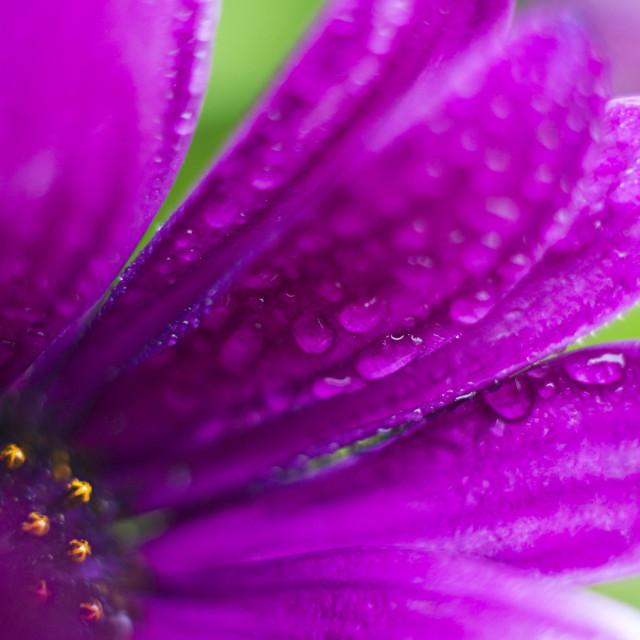 """Osteospermum"" stock image"