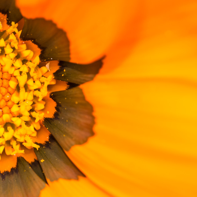 """Off Centre Gazania"" stock image"