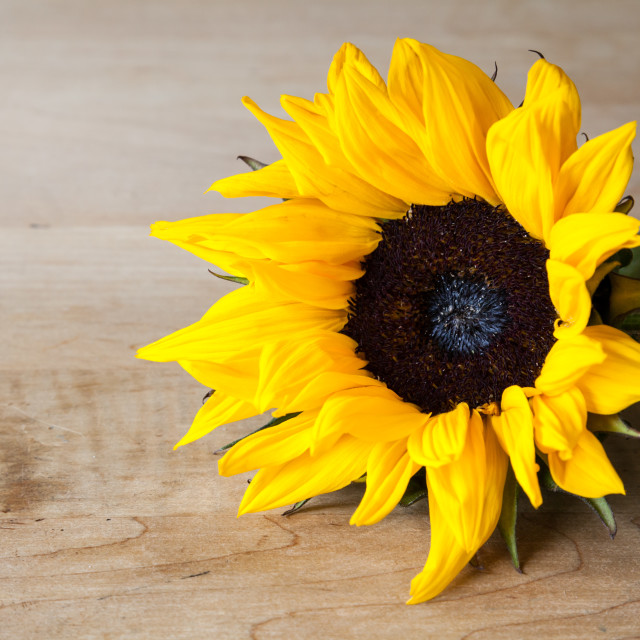 """""""Sunflower on Table"""" stock image"""