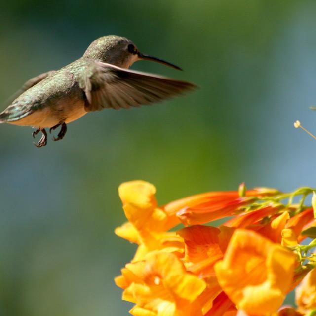 """Hummingbird #2"" stock image"