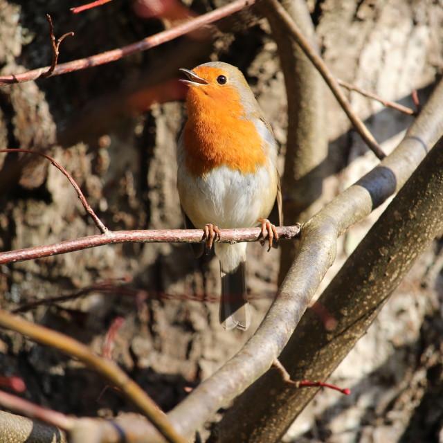 """Singing Robin"" stock image"