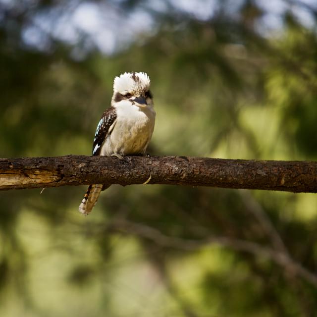 """Kookaburra, Australian"" stock image"