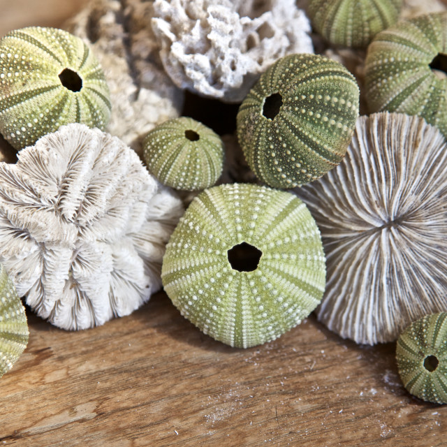 """Sea urchins"" stock image"