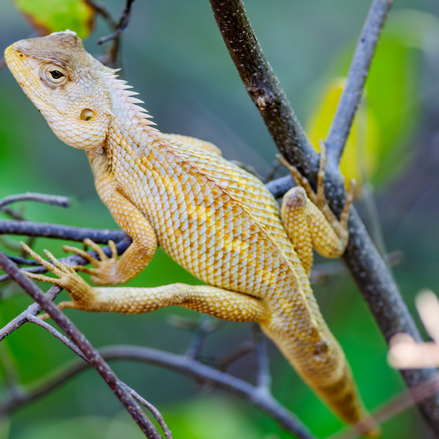 """Oriental Garden Lizard waiting on a tree branch"" stock image"