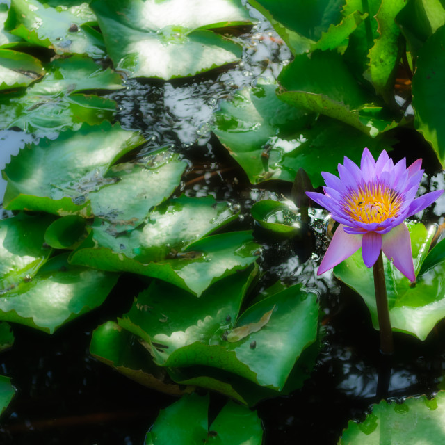 """Blooming Water-lily flowers in a pond"" stock image"