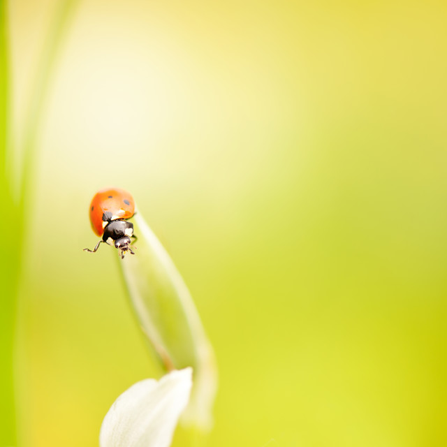 """Ladybug red beauty on grass"" stock image"