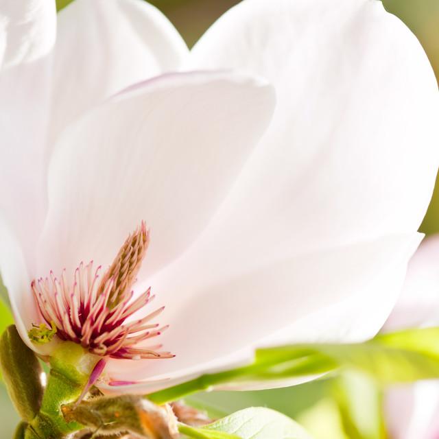 """""""Magnolia sepal flowering macro"""" stock image"""