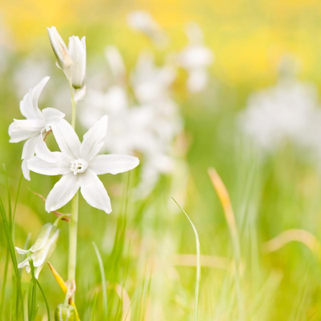 """White Ornithogalum nutans blooming"" stock image"