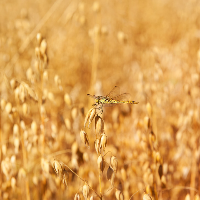 """""""Odonata or dragonfly on oat"""" stock image"""