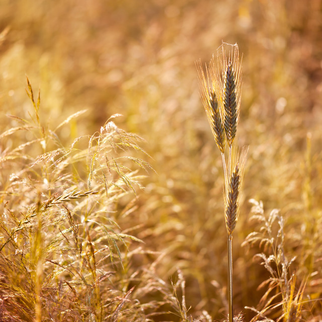 """Golden cereal plant photo"" stock image"