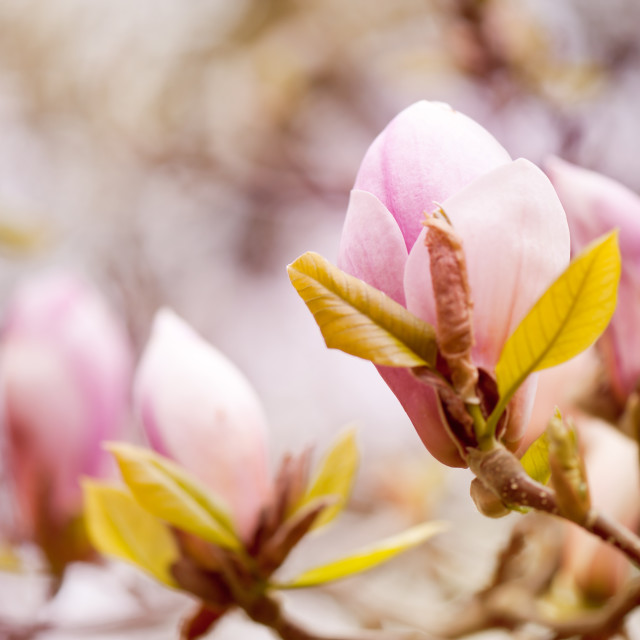 """Magnolia beauty flowering in spring"" stock image"