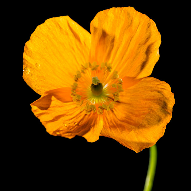 """Welsh Poppy"" stock image"