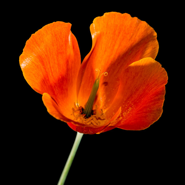 """Californian Poppy"" stock image"