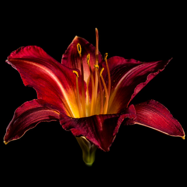 """Red Daylily"" stock image"