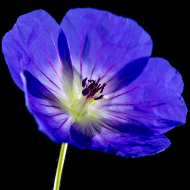 """""""Geranium"""" stock image"""