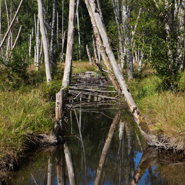 """""""Beaver Dam Reflection"""" stock image"""