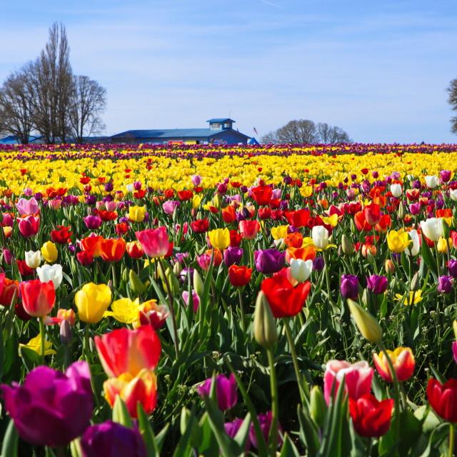 """Tulip Field"" stock image"