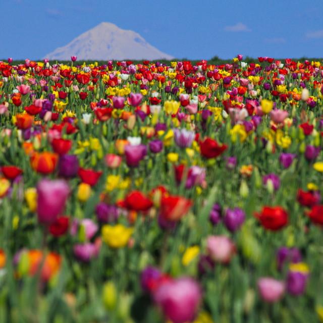 """""""Tulips and Mt. Hood"""" stock image"""