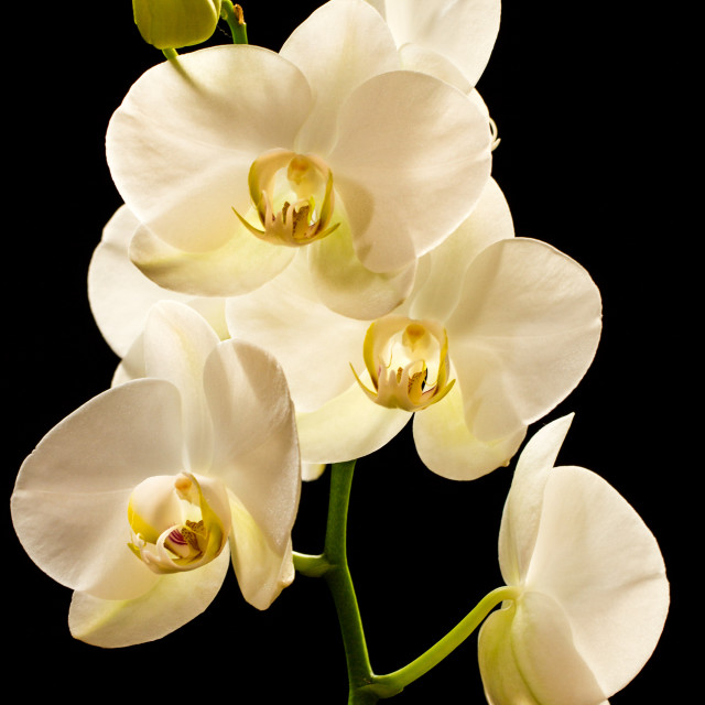 """Beautiful White Orchid"" stock image"