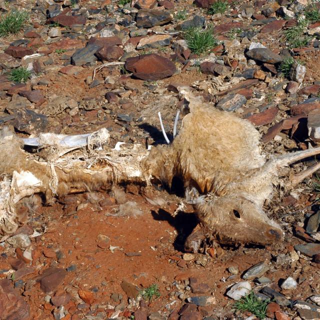 """""""Kangaroo died in the desert"""" stock image"""