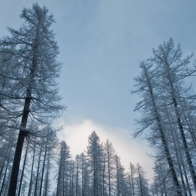 """Frozen Forrest"" stock image"