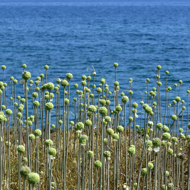 """Landscape with wild green ball plants by Alcudia bay"" stock image"
