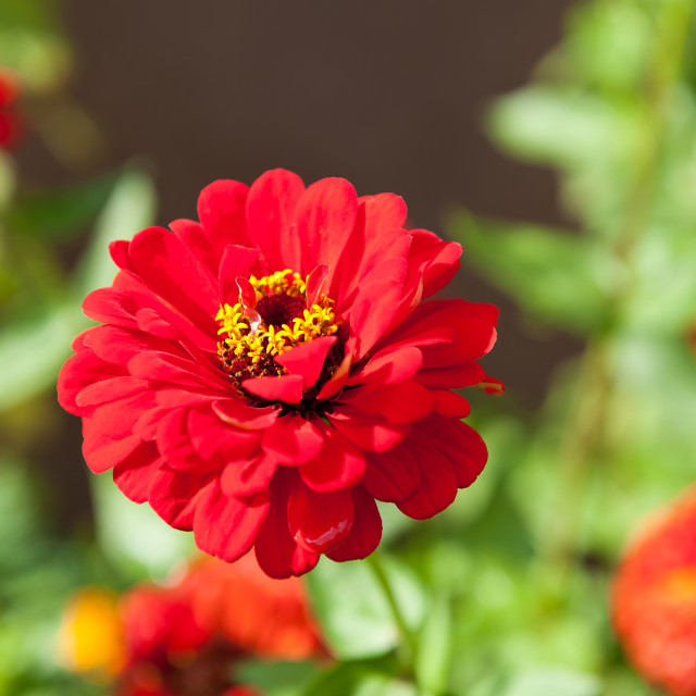 """Red single Zinnia flowering"" stock image"