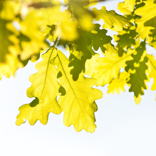 """vibrant green oak leaves"" stock image"