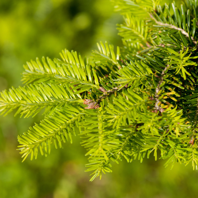 """Green coniferous fresh shoots detail"" stock image"